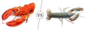 Lobster vs Yabby