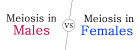 Meiosis in Males vs Females