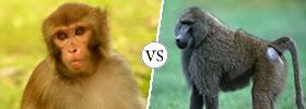 Monkey vs Baboon