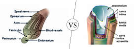 Nerve vs Vein