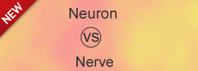 Difference between Neuron and Nerve
