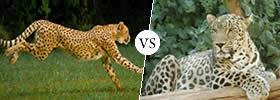 Difference between Panthera Onca (Jaguar) vs Panthera Pardua (Leopard)