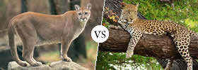 Difference between Puma and Leopard