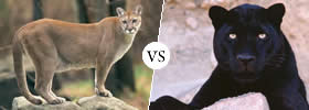 Difference between Puma and Panther