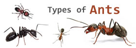 Different Types of Ants