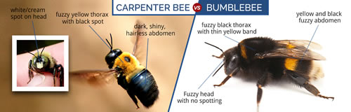 Difference Between Carpenter Bees And Bumblebees