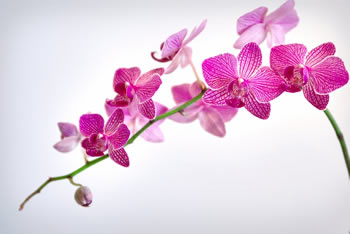 difference between lily and orchid  lily vs orchid, Beautiful flower