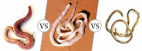 Earthworm vs Tapeworm vs Roundworm