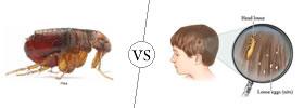 Fleas vs Nits