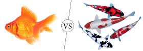 Goldfish vs Koi