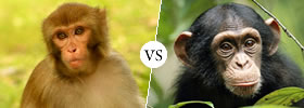 Monkey vs Chimpanzee