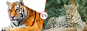 Tiger vs Leopard