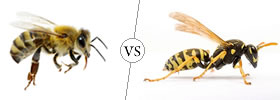 Bee vs Wasp