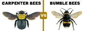 Carpenter Bees vs Bumblebees