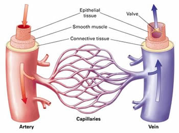 Difference between Artery and Vein   Artery vs Vein